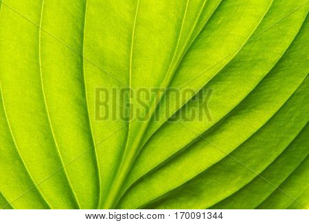 Texture of a green leaf as background