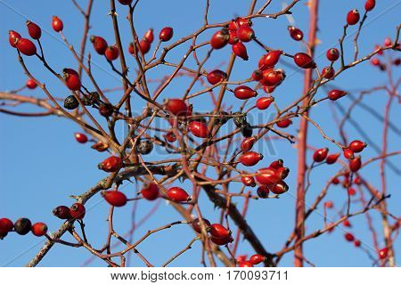 Ripe red hips in winter with blue sky in the background