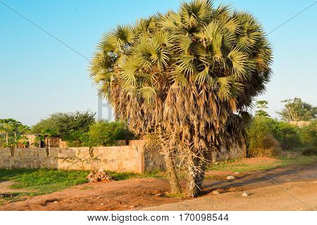 Trio of palm trees on the road from Mombasa to Nairobi in Africa