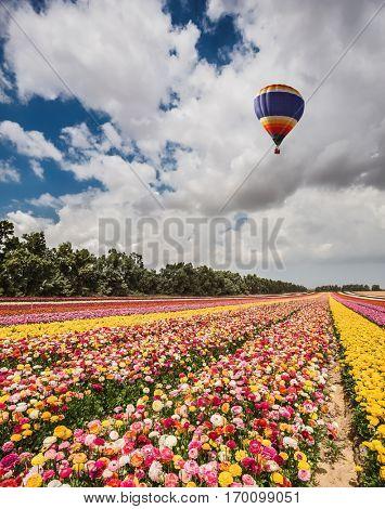 Quiet sunny spring day. Great multi-colored balloon flies over flower field. Flower kibbutz near Gaza Strip