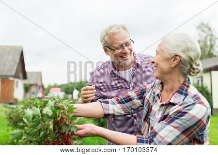 farming, gardening, old age and people concept - happy senior couple harvesting red currant at summer garden