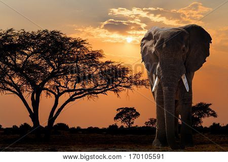 Africa Sunset Over Acacia Tree And Elephant