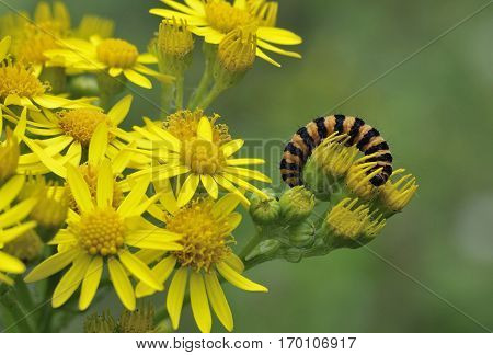 Cinnabar Moth Caterpillar - Tyria jacobaeae on Common Ragwort Flowers - Senecio jacobaea