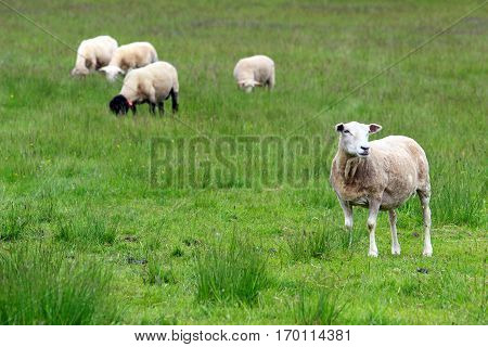 small herd of sheep on green meadow