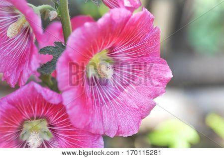 pink Hollyhock flower in the garden (Alcea Rosea)