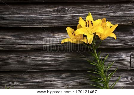 Yellow asian lily flower in front of old wooden wall
