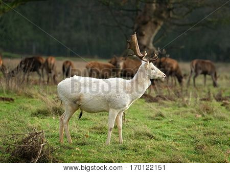 Rare white Roe deer stag in field with Red deer.