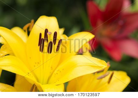 Close up yellow asian lily flower in front of red lily flower