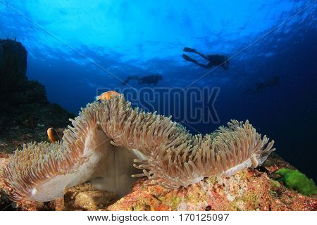 Clownfish, Anemone and scuba divers