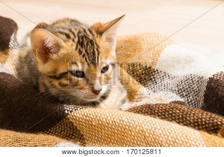 Auburn spotted kitten sitting in a blanket close up