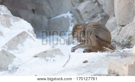 Macaque Monkey Searching Food