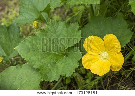 Yellow wax gourd flower and green leaf in summer