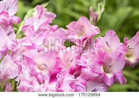 Close up bright pink gladiolus flowers wet with rain