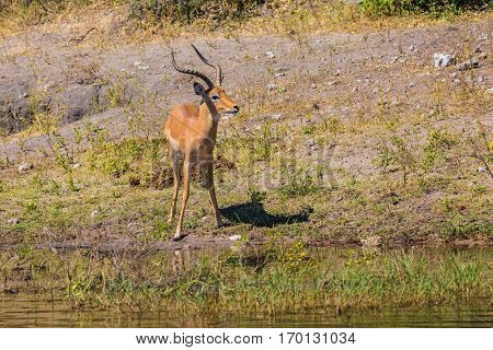 Watering antelope - Impala in the Okavango Delta. The concept of exotic  tourism in Africa. Chobe National Park in Botswana