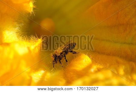Working bee collects nectar and pollen on pumpkin flower with stamens and pistil