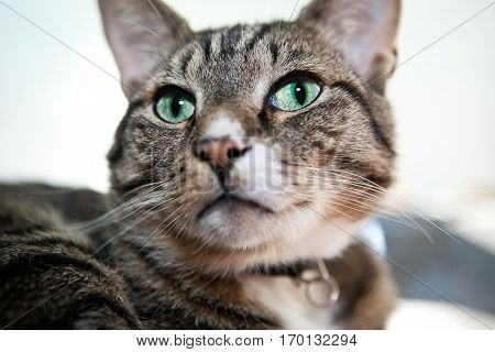 Tabby cat  looking amazed with bid green eyes
