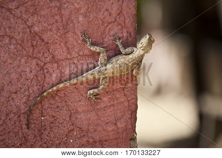 Lizard on a terracotta ocher wall, Senegal, Africa