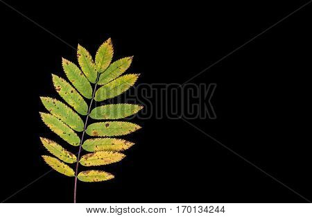 Colorful autumn, fall leaf, leaves on black background. Rowan leaf in yellow and green colors in closeup, macro.