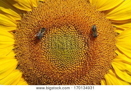 Working bee collects nectar and pollen on sunflower