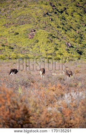 In South Africa     Wildlife   Ostrich