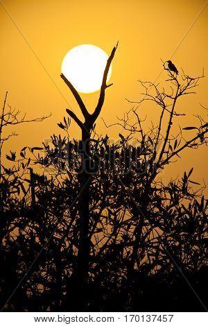 Silhouette of tree in the sunset Sine Saloum Senegal