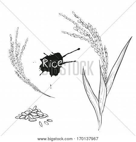 Hand drawn vector monochrome illustration of rice plant, grain. sketch. Vector eps 8.