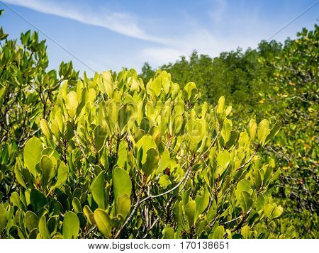 Green mangrove field with clearly blue sky at Rayong province in Thailand