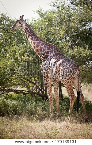 Giraffe eating leaves on tree, Bandia Game Reserve, Senegal, Africa