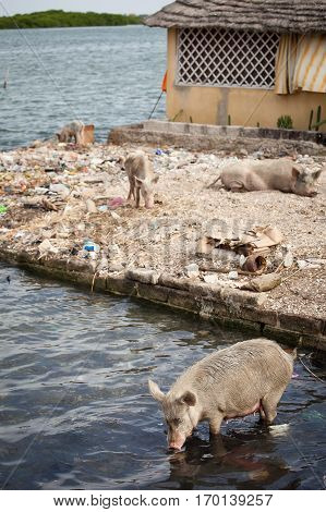 Pigs eating rubbish and drinking in the river, village of Fadiouth Senegal
