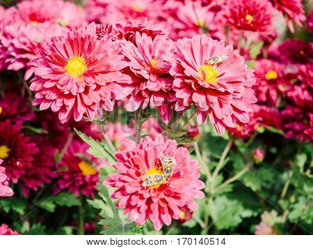 Red Chrysanthemum bed flower a nutural background