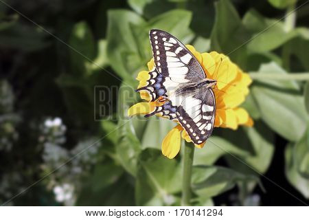 Swallowtail butterfly on the yellow beautiful flower