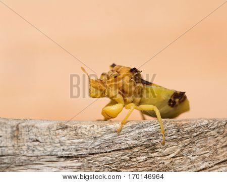 Pre-historic looking Jagged Ambush Bug on a piece of wood
