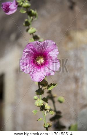 pink hollyhock isolated with a stone wall in the background