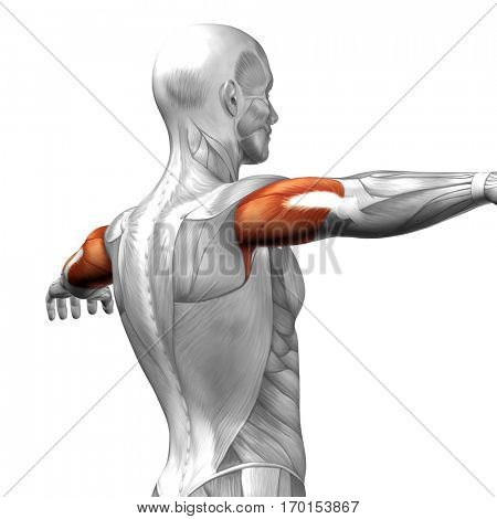 Concept conceptual 3D illustration triceps human anatomy anatomical and muscle isolated on white background metaphor to body, tendon, spine, fit, abs, strong, biological, gym, fitness, health medical