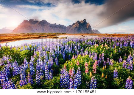 Magical lupine flowers glowing by sunlight. Unusual and gorgeous scene. Popular tourist attraction. Location famous place Stokksnes cape, Vestrahorn (Batman Mountain), Iceland, Europe. Beauty world.