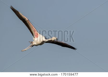 A Greater Flamingo Flying (Phoenicopterus roseus) flying