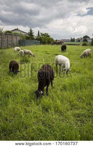 Lambs and sheeps grazing in a green field
