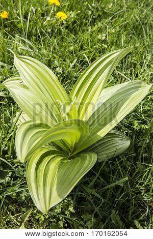 growing Gentiana lutea - great yellow gentian