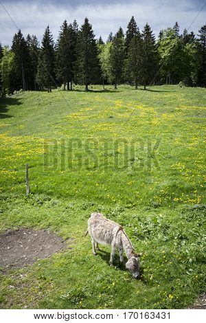 Bucolic mountain landscape with blooming green meadow and donkey grazing Jura Switzerland
