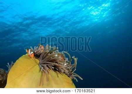 Sea Anemone and Clownfish fish underwater