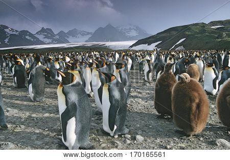 UK, South Georgia Island, colony of King Penguins