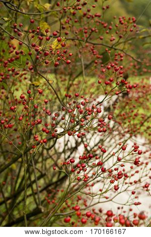 tree with red berries: Pyracantha - firethorn. Pyracantha branch with berry-like pomes