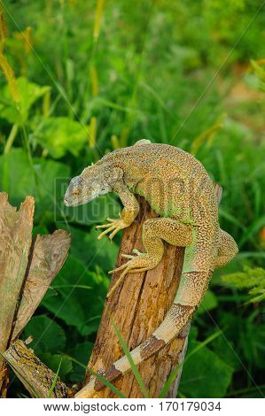 one green iguana lizard rests on a log and heats up in the sun.on summer Meadow