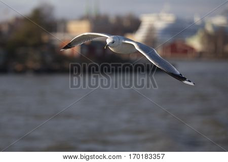 Seabird flying in movement above the sea