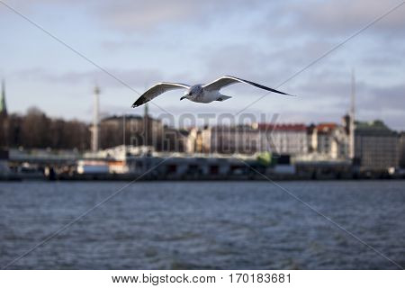 Seabird flying in movement over the sea with Helsinski city in the background