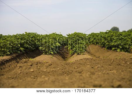 Potato field on a sunny summer day. Agriculture cultivation of vegetables.