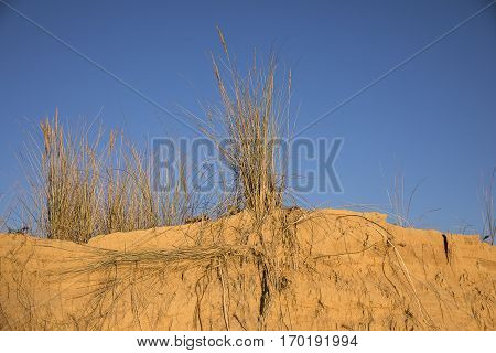 Dune plants on the top of golden sand dune with blue sky as backgroundlCasse de la Belle Henriette, located between l'Aiguillon sur Mer and la Tranche sur Mer, Vendee, France