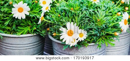 Beautiful close up fresh daisy, white chamomile flowers in bucket for flower decoration banner