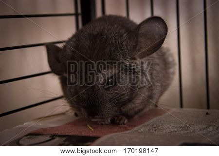 Little very cute chinchilla looks into the lens