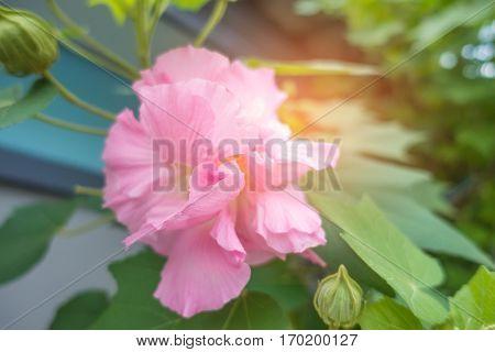 Cotton rose on tree Confederate rose (Hibiscus mutabilis L)